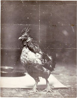 Ed Ruscha, Ross the Rooster, 1960 Unique gelatin silver print, 14 × 11 inches (35.6 × 27.9 cm)© Ed Ruscha