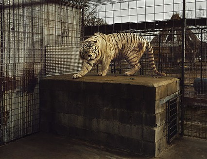 Taryn Simon, White Tiger (Kenny), Selective Inbreeding, Turpentine Creek Wildlife Refuge and Foundation, Eureka Springs, Arkansas, from the series An American Index of the Hidden and Unfamiliar, 2007 Chromogenic print, framed: 37 ¼ × 44 ½ inches (94.6 × 113 cm), edition of 7 + 2 AP© Taryn Simon