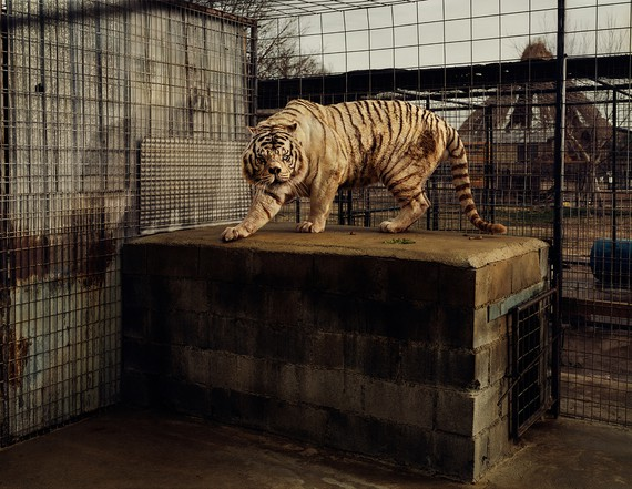 Taryn Simon, White Tiger (Kenny), Selective Inbreeding, Turpentine Creek Wildlife Refuge and Foundation, Eureka Springs, Arkansas, 2006–07, from the series An American Index of the Hidden and Unfamiliar, 2007 © Taryn Simon